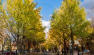 『日本自助旅行』10月北海道札幌必訪景點 — 北海道大學銀杏大道